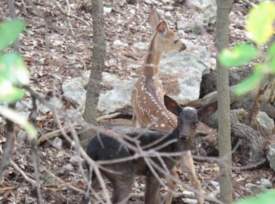 Melanstic and Normal Colored Whitetail Fawn