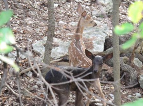 A black melanistic and normal-colored whitetail fawn