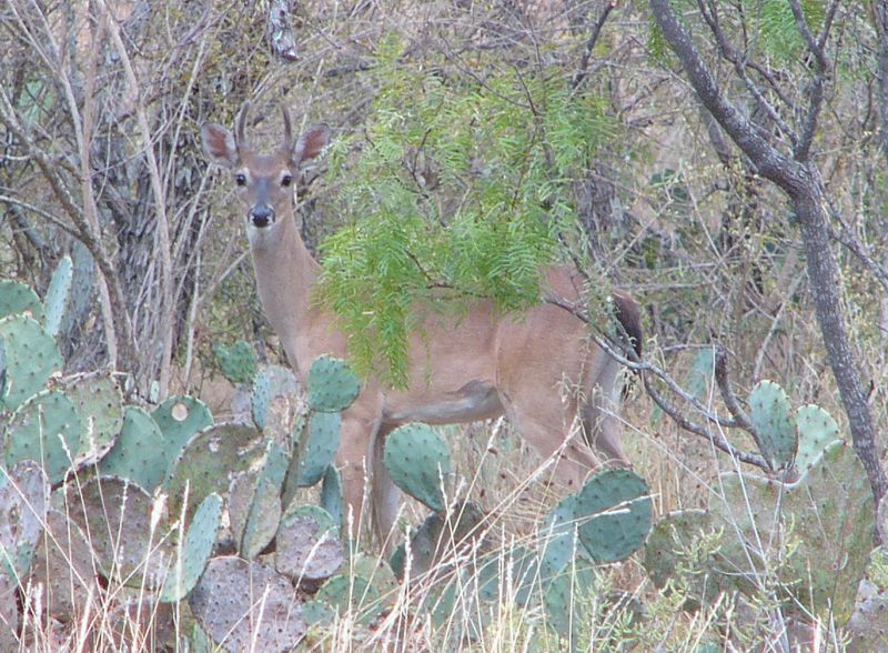 Deer Management: Reasons to Cull Whitetail Bucks