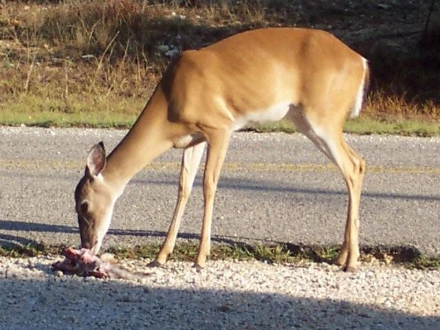 Whitetail doe eating a road-killed fawn