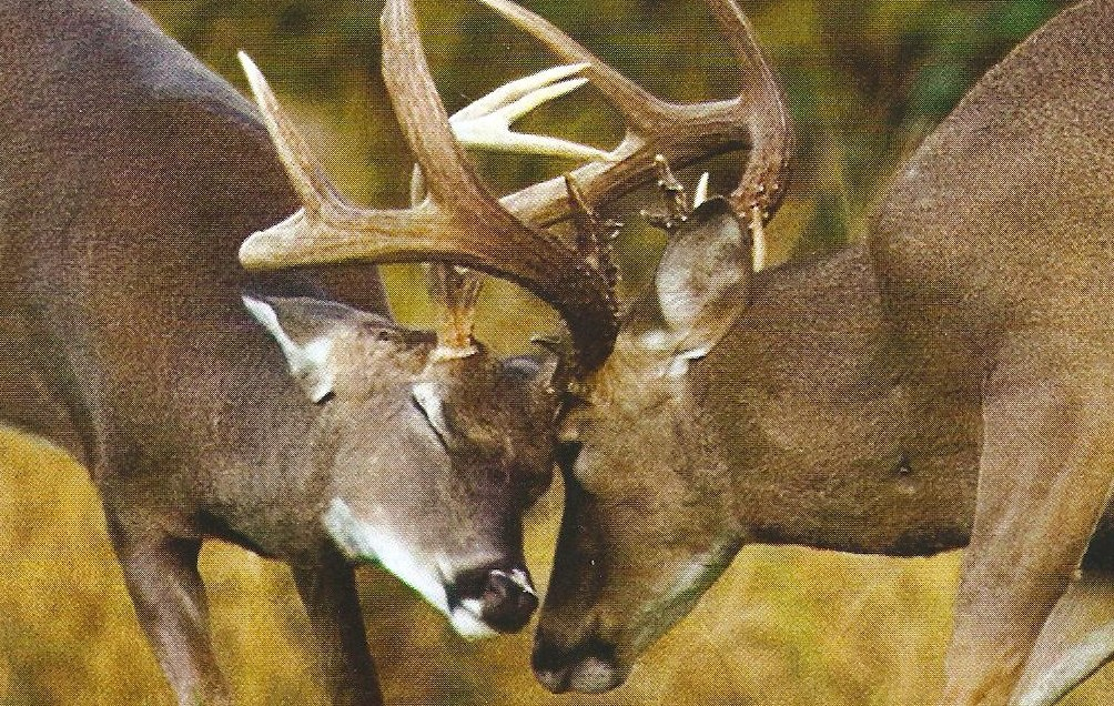 Rattling at the Right Time for Deer Hunting Success
