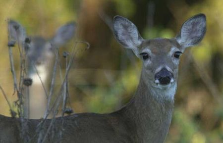White-tailed deer in Texas could be poisoned