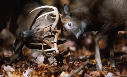 Whitetail bucks fight for dominance