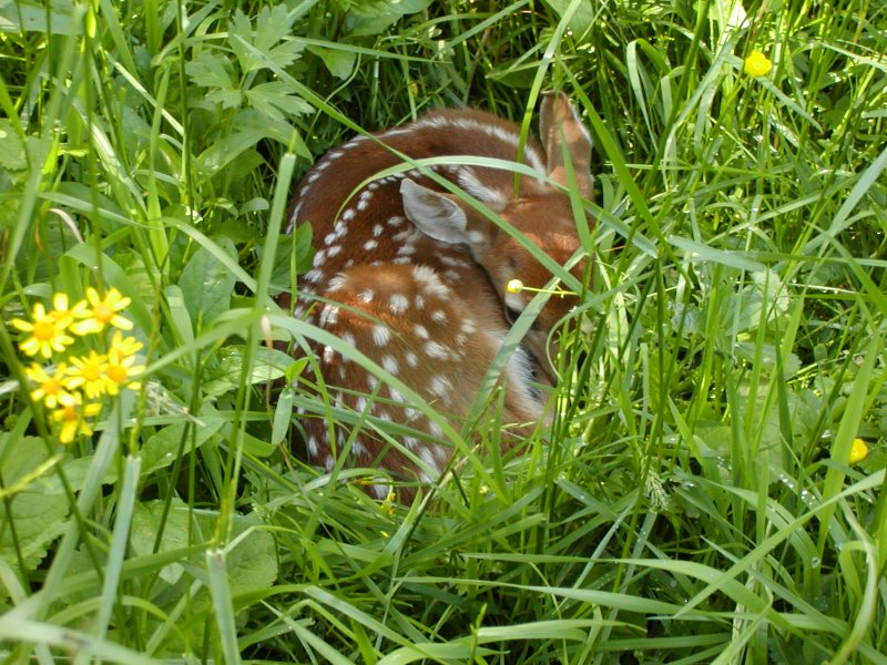 White-tailed deer fawn hides in dense grass.