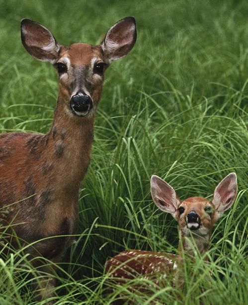 Habitat Management Techniques for Whitetail Deer