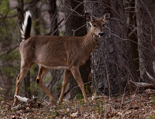 Deer Disease: Take Caution During Deer Processing