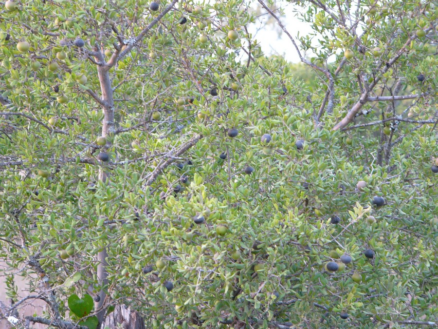 Texas Persimmon: Not a good browse plant, but deer love the fruit!