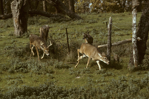 Hunting the Rut - Look for Bucks Chasing Does