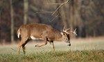 Selective Culling for Bucks and Deer Management
