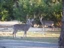 Urban Deer Management: Whitetail Buck in Bulverde, Texas