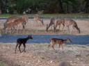 Urban Deer Management: Melanistic Black Fawn