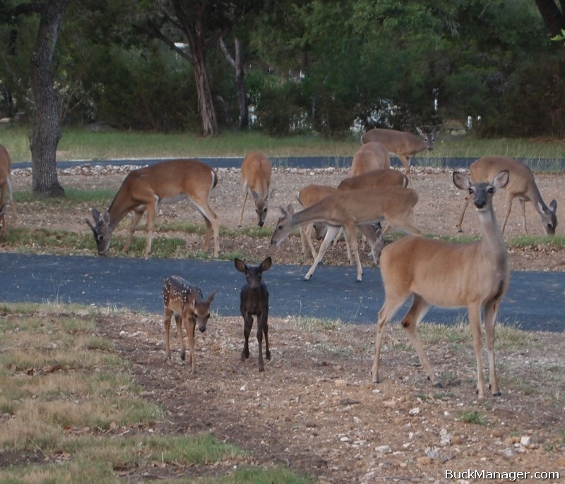 Deer Management: Melanistic Black Fawn in Bulverde, Texas