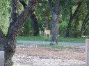 Controlling Urban Whitetail: Deer Management for Population Control