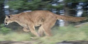 Mountain Lion Goes Deer Hunting