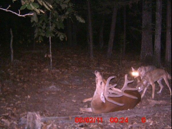 Big Bucks Killed In Virginia http://www.buckmanager.com/2011/12/11/on-predator-control-coyotes-and-whitetail/coyotes-kill-buck-121111-03/