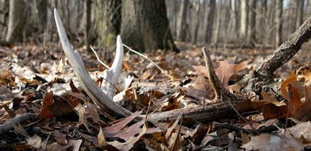 Deer Hunting: Antler Hunting Tips