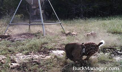 bobcat kills deer fawn on camera predators deer management