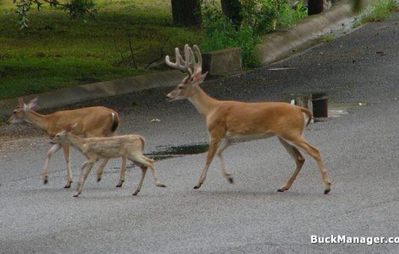 Managing Suburban White-tailed Deer