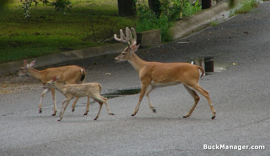 Managing Suburban White-tailed Deer