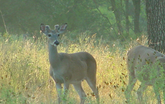 Antler Development in White-tailed Bucks