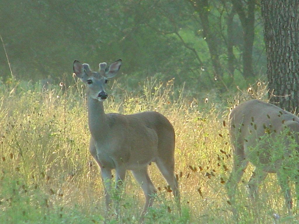 Antler Development in White-tailed Bucks