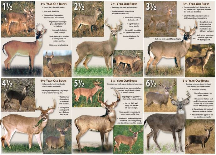 Aging Whitetail Bucks for Selective Harvest