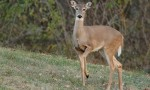Deer Hunting: Why do Deer Blow?