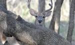 CWD Found in Medina County, Texas