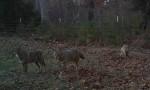 Predator Control for Deer Management