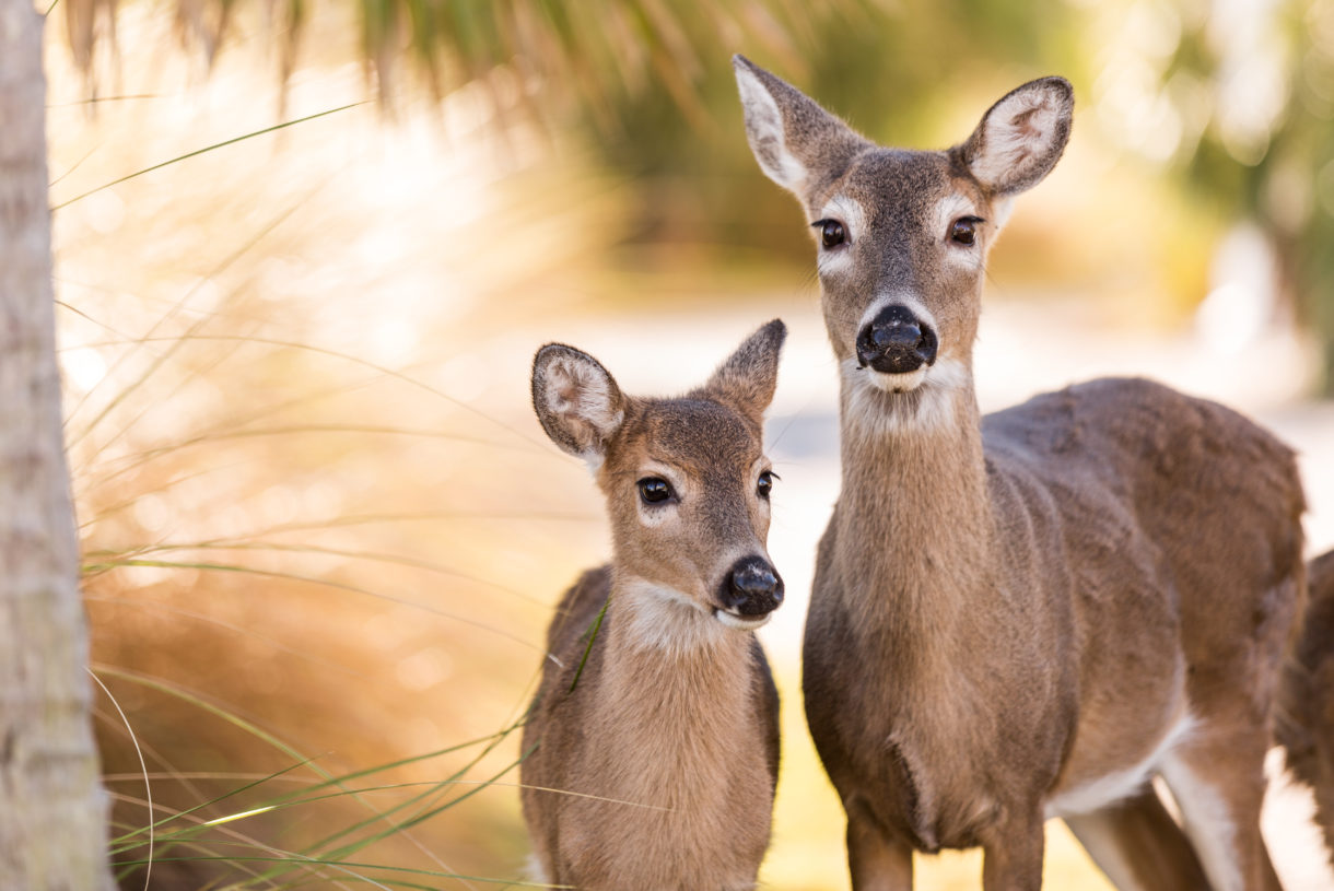 Corn Toxicity: Acidosis in White-tailed Deer