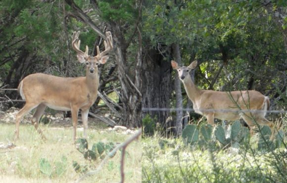 Are Bucks or Does Spreading CWD?