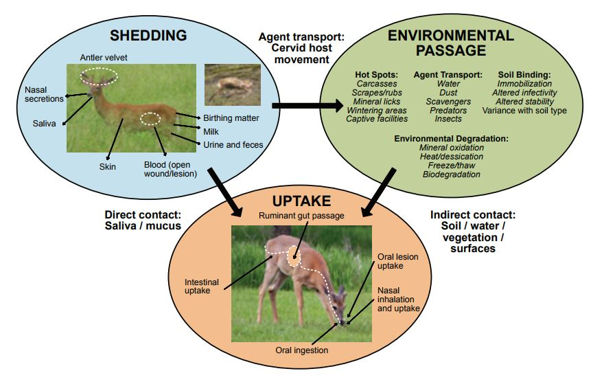 Conceptual model of CWD transmission.