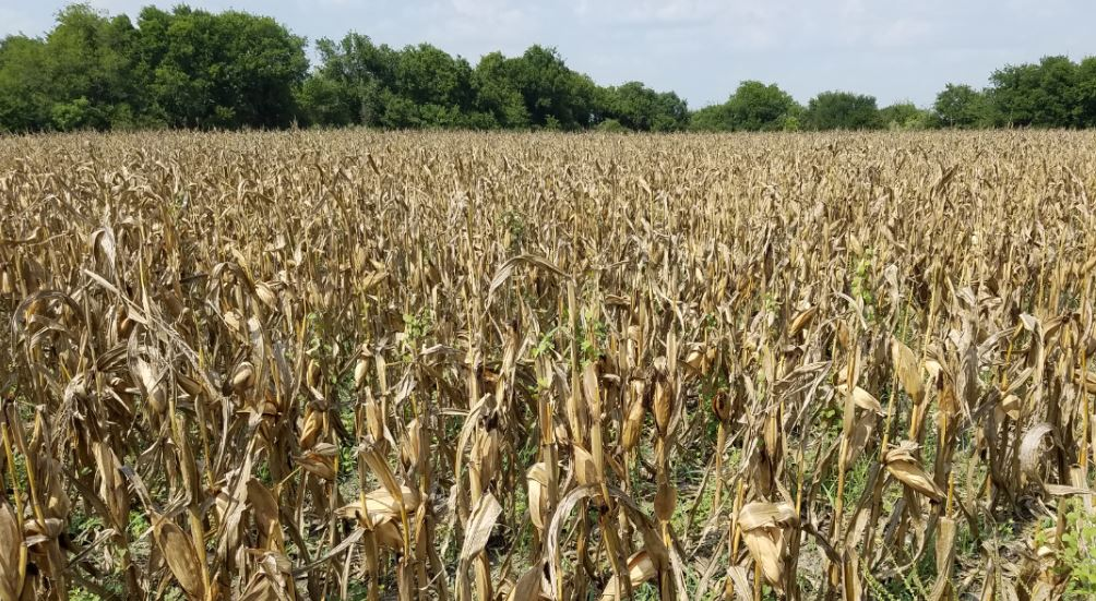 Problems with Feeding Corn to Deer