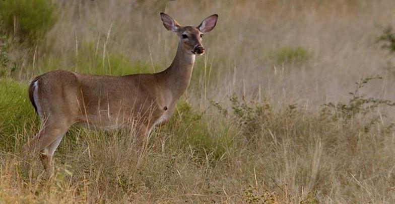 CWD and Deer Urine